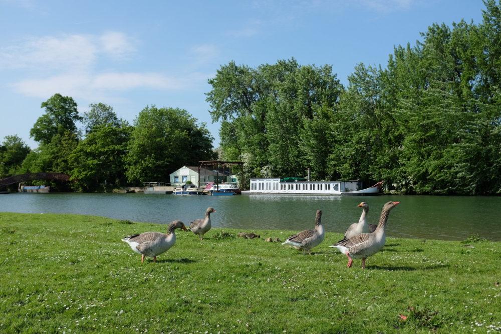 Port Meadow Geese