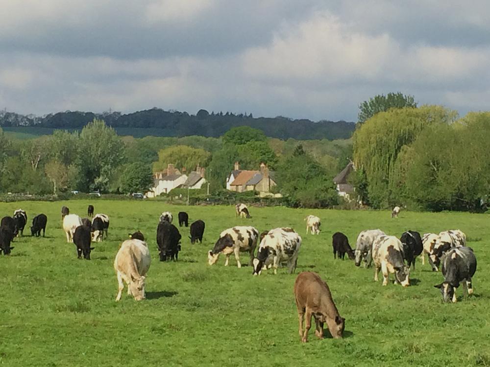 binsey poplars cows