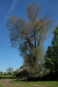 binsey poplars